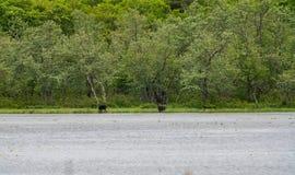 Um alce que come em uma lagoa em Maine imagens de stock