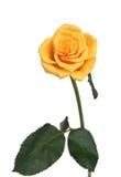 Um amarelo levantou-se em um fundo branco Fotografia de Stock Royalty Free