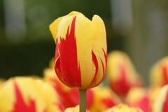 Um amarelo - tulipa vermelha na parte dianteira imagem de stock