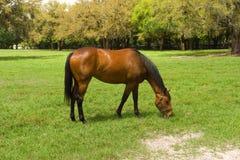 Um animal de um ano em uma exploração agrícola do cavalo no ocala Fotos de Stock Royalty Free