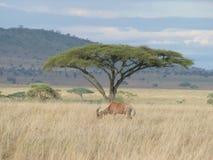 Um antílope no Serengeti Foto de Stock Royalty Free