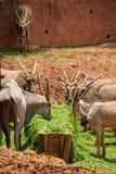 Um ant?lope, um tipo de mam?fero, assemelhando-se a uma cabra O homem e o f?meas t?m os chifres, listras cinzento-amarelas, marro fotografia de stock royalty free