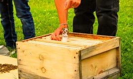 Um apicultor deixa cair uma abelha-mestra em uma colmeia nova Fotografia de Stock Royalty Free