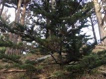 Um aprendiz Torrey Pine, entre muitos que crescem agora durante todo Califórnia fotografia de stock royalty free
