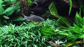 Um aqu?rio de ?gua doce bonito com plantas vivas fotografia de stock royalty free