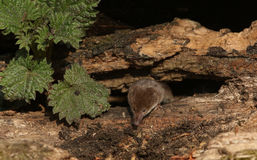 Um araneus do Sorex do musaranho comum da caça Imagens de Stock