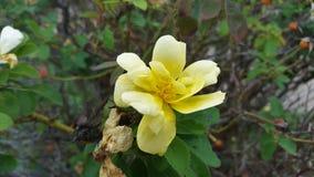 Um arbusto amarelo grande da flor fotografia de stock