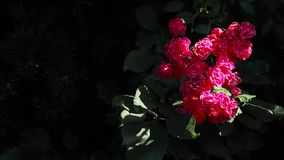 Um arbusto bonito de rosas vermelhas em um fundo escuro balança no vento filme