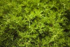 Um arbusto conífero de um close-up Foto de Stock