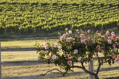 Um arbusto cor-de-rosa bonito ao longo de uma cerca perto de um vinhedo imagens de stock