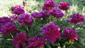 Um arbusto das peônias na flor completa Foto de Stock Royalty Free