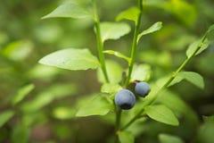 Um arbusto de um close-up da uva-do-monte Uvas-do-monte em uma filial foto de stock