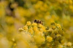 Um arbusto de flores amarelas com imagens de stock