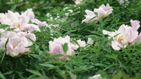 Um arbusto de florescência com a grande peônia cor-de-rosa floresce o tiro no tempo nebuloso no verão Vídeo lento panorâmico da e vídeos de arquivo