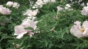 Um arbusto de florescência com a grande peônia cor-de-rosa floresce o tiro no tempo nebuloso no verão Vídeo lento panorâmico do d vídeos de arquivo
