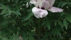 Um arbusto de florescência com a peônia do rosa do close-up floresce o tiro no tempo nebuloso no verão Pena panorâmico acima do v vídeos de arquivo