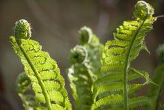 Um arbusto de uma samambaia verde bonita nova nos raios delicados do close-up da luz solar da mola imagens de stock royalty free