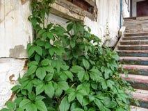 Um arbusto de uvas selvagens cresce em escadas velhas de um vintage perto de uma parede rasgada branco Foto de Stock