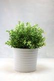 Um arbusto pequeno Imagem de Stock Royalty Free
