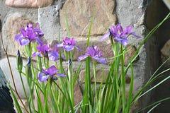 Um arbusto só da íris olhará bom na perspectiva de um gramado ou de uma parede imagem de stock royalty free