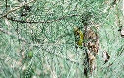 Um arbusto verde das folhas com o colibri que esconde dele e que fixa seu ninho fotografia de stock royalty free