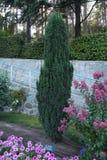 Um arbusto verde delgado magnífico em um parque que cresce na forma Fotos de Stock Royalty Free