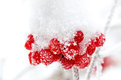 Um ashberry congelado Foto de Stock