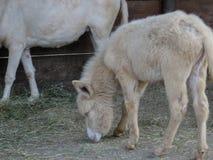 Um asno do albino em um parque italiano Imagens de Stock Royalty Free