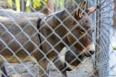 Um asno normal está atrás de uma gaiola no jardim zoológico fotografia de stock royalty free