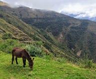 Um asno que pasta no montanhês nos Andes no passeio na montanha de Salkantay imagem de stock
