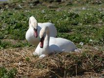 Um assentamento em seu arranhão, assento da cisne em ovos fotografia de stock royalty free