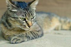 Um assento bonito do gato do tigre Imagens de Stock Royalty Free