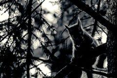 Um assento selvagem do squirel no carvalho velho em um dia de verão quente Imagem de Stock Royalty Free