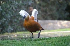 Um Assobiar-pato Branco-enfrentado Dendrocygna Viduata Fotografia de Stock