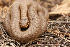 Um austriaca liso raro de Coronella da serpente enrolado acima no mato Imagens de Stock