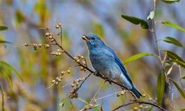Um azulão-americano bonito da montanha que come o fruto imagem de stock royalty free