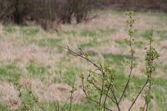 Um azulão-americano fêmea da montanha que senta-se em uma árvore pequena fotografia de stock
