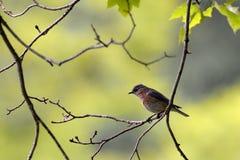 Um azulão-americano oriental empoleira-se em um ramo de árvore no sudoeste Virgínia imagens de stock royalty free