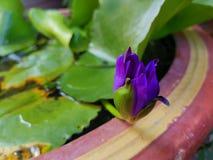Um azul bonito waterlily na cuba prepara-se para florescer imagens de stock royalty free