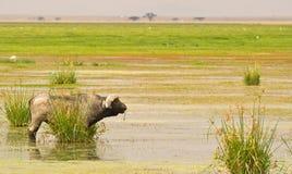 Um búfalo africano masculino do veterano Fotografia de Stock Royalty Free