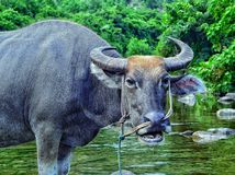 Um búfalo de água em um córrego em Vietname Imagem de Stock Royalty Free