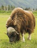 Um búfalo de água pasta na conserva do Alasca imagens de stock
