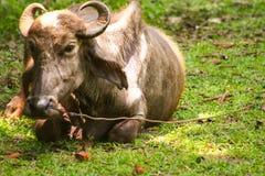 Um búfalo de água de relaxamento imagem de stock