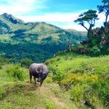 Um búfalo solitário no campo imagens de stock royalty free