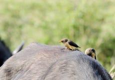 Um Búfalo-tecelão Vermelho-faturado Fotografia de Stock
