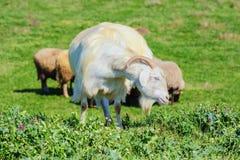 Um baby-sitter Goat Fotografia de Stock