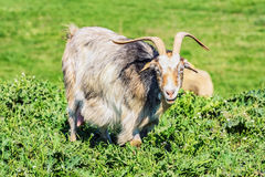 Um baby-sitter Goat Fotos de Stock