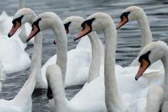Um bando das cisnes no rio Tamisa imagens de stock
