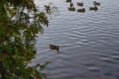 Um bando do pato selvagem está no rio Imagem de Stock