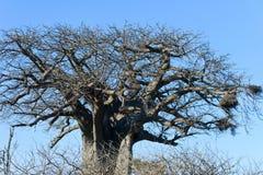 Um baobab desencapado enorme imagens de stock